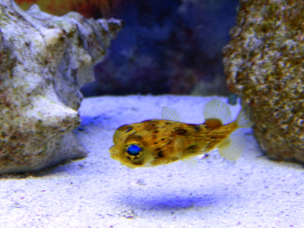 Porcupine puffer fish 3 by steve coney1973 on deviantart for Puffer fish art