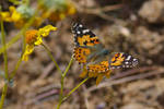 Painted Lady on Brittlebush
