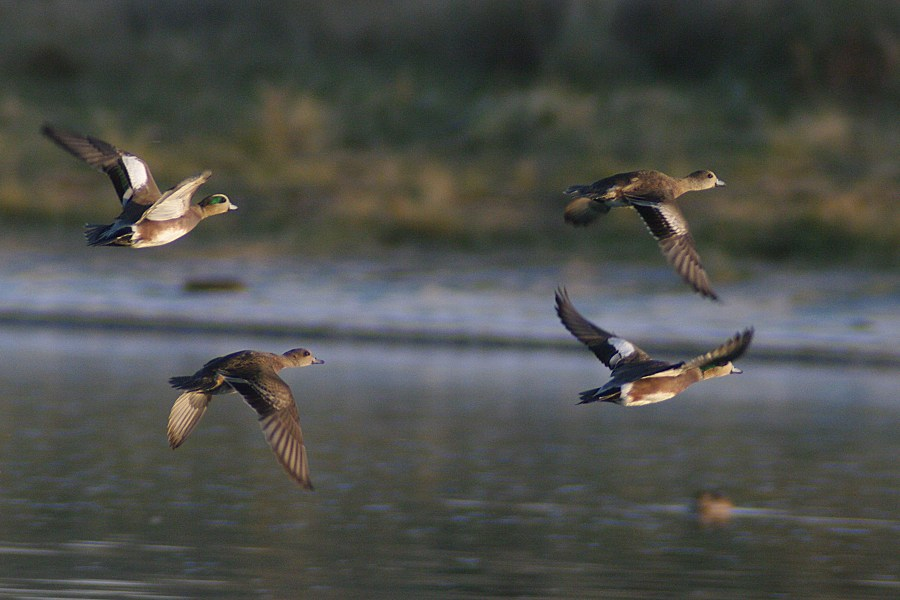 American Wigeons in Flight by PatGoltz