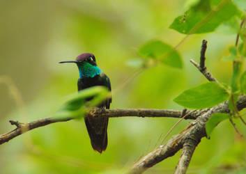 Magnificent Hummingbird by PatGoltz