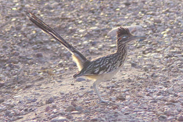 Greater Roadrunner by PatGoltz