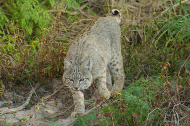 Bobcat by PatGoltz