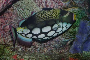 Clown Triggerfish by PatGoltz