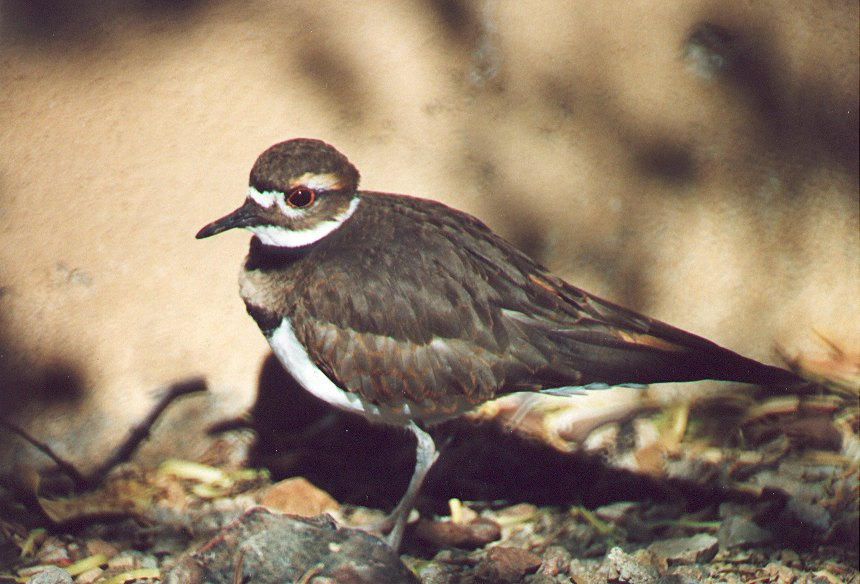 Killdeer by PatGoltz