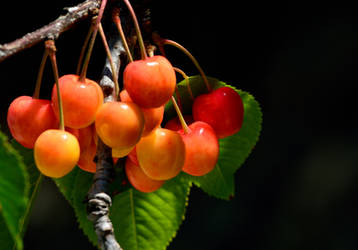 Cherry ripe... by cricketumpire