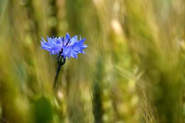Lone cornflower... by cricketumpire