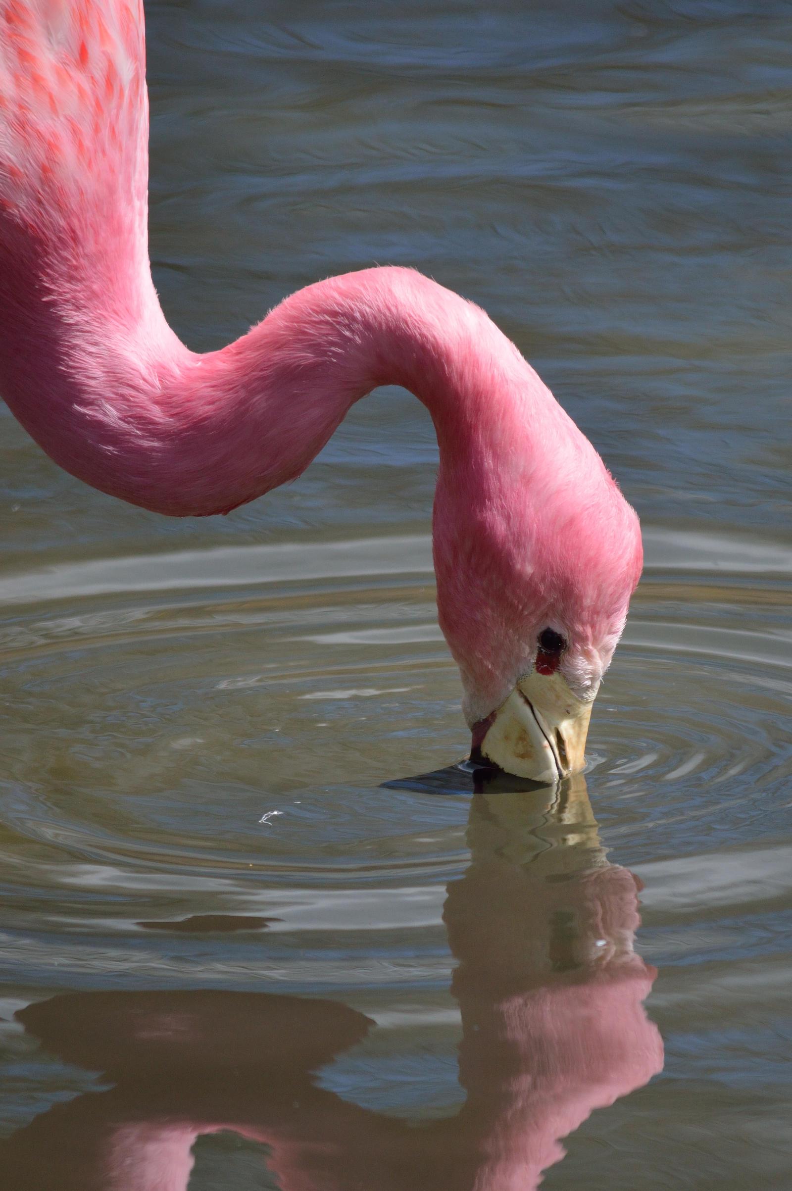 Pretty Flamingo... by cricketumpire