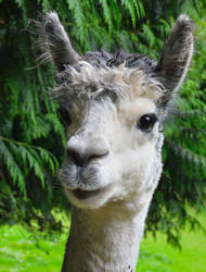 Want a llama?  -- Pick ME! Pick ME!