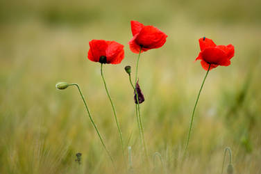 Tall poppies... by cricketumpire