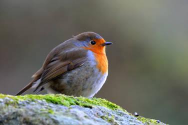 Robin singing merrily...