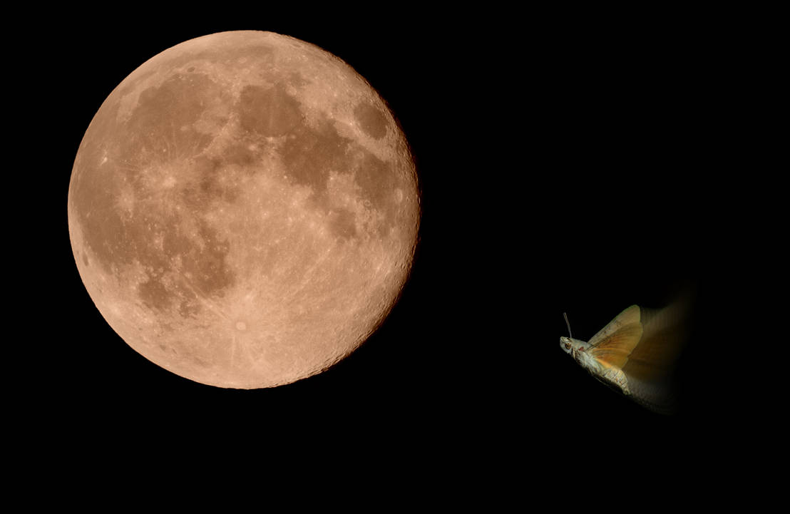 The moth who set his heart on the moon... by cricketumpire