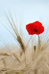 Among the feathery stalks of barley...