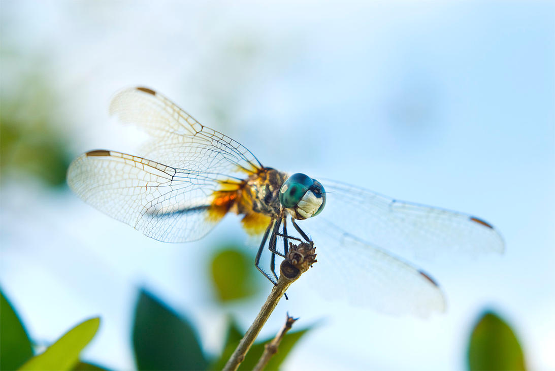 Dragonfly Macro by F