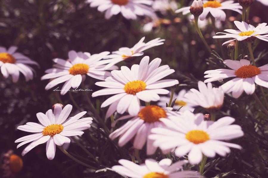 Daisy by doredore