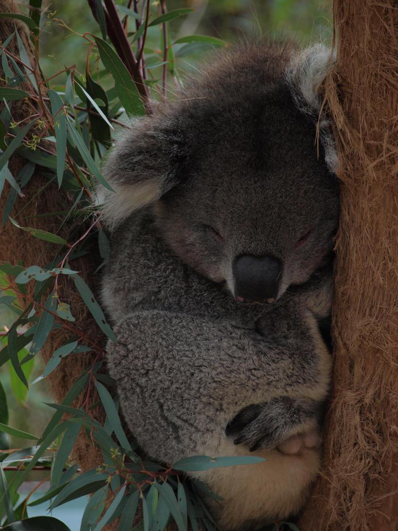 http://th02.deviantart.net/fs71/PRE/i/2010/248/c/6/sleeping_koala_by_firetamer6111992-d2y1ltj.jpg