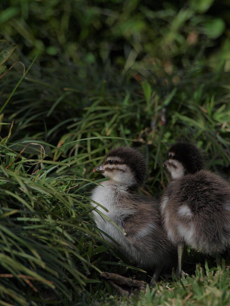 Ducklings by HempHat