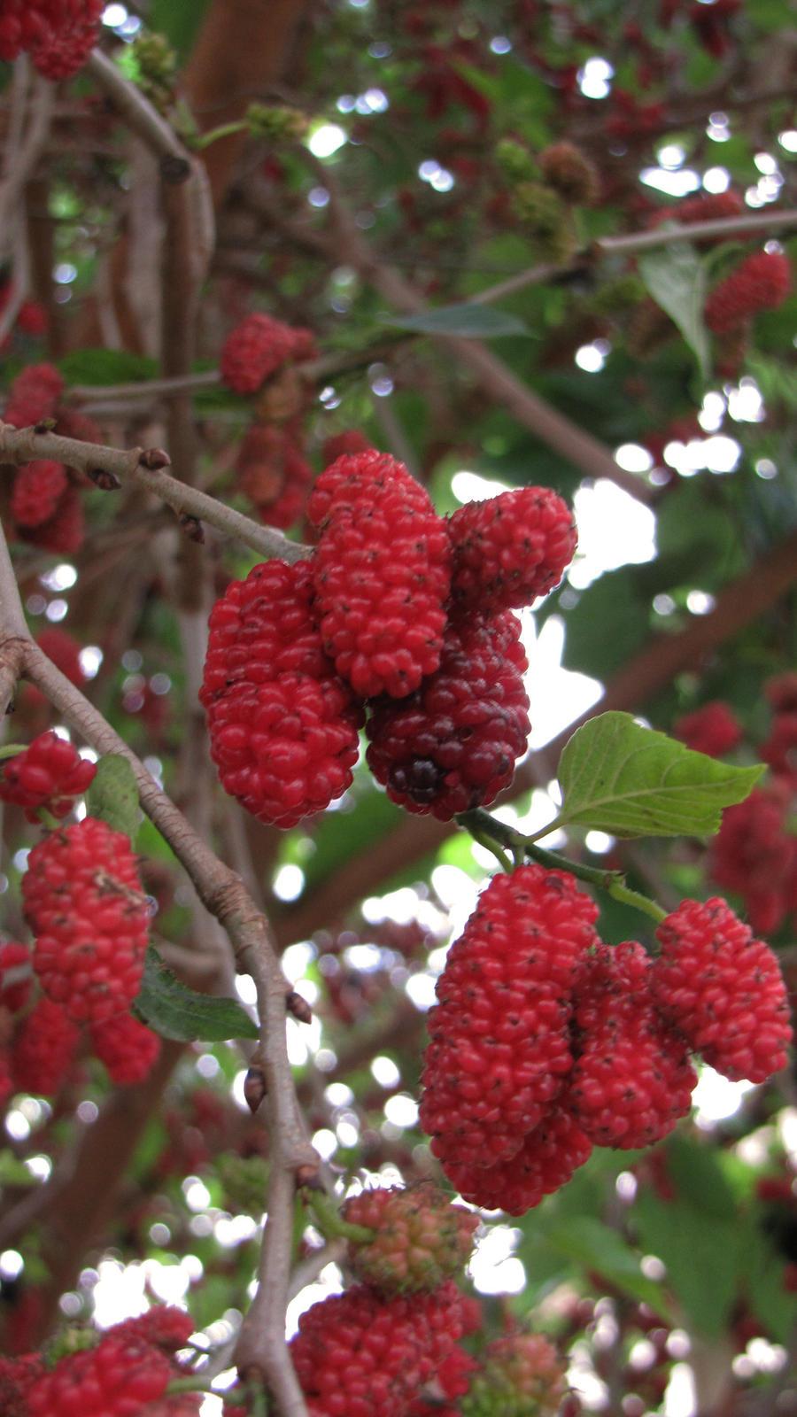 dut agaci  berry tree by sptnck on deviantart, Beautiful flower
