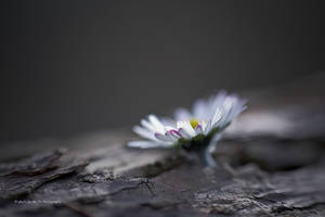 My little Daisy (Bellis perennis) by Tb--Photography