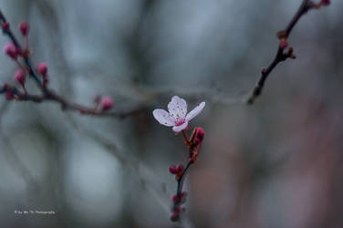 Cherry Blossom by Tb--Photography