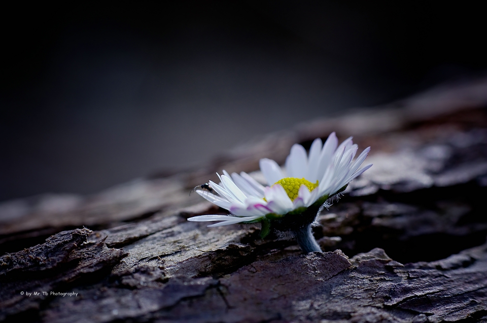Daisy by Tb--Photography