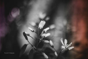 Blossom (with Lightroom Light Leaks) by Tb--Photography