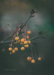 Yellow / Orange Pearls by Tb--Photography