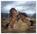 Stallions Savage Rivalry