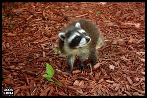 Baby Raccoon Series 6 of 9 by LarryDNJR