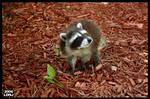 Baby Raccoon Series 6 of 9