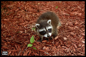 Baby Raccoon Series 7 of 9 by LarryDNJR