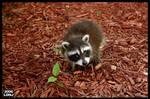 Baby Raccoon Series 7 of 9