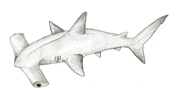 Hammerhead Shark Drawing In Pencil