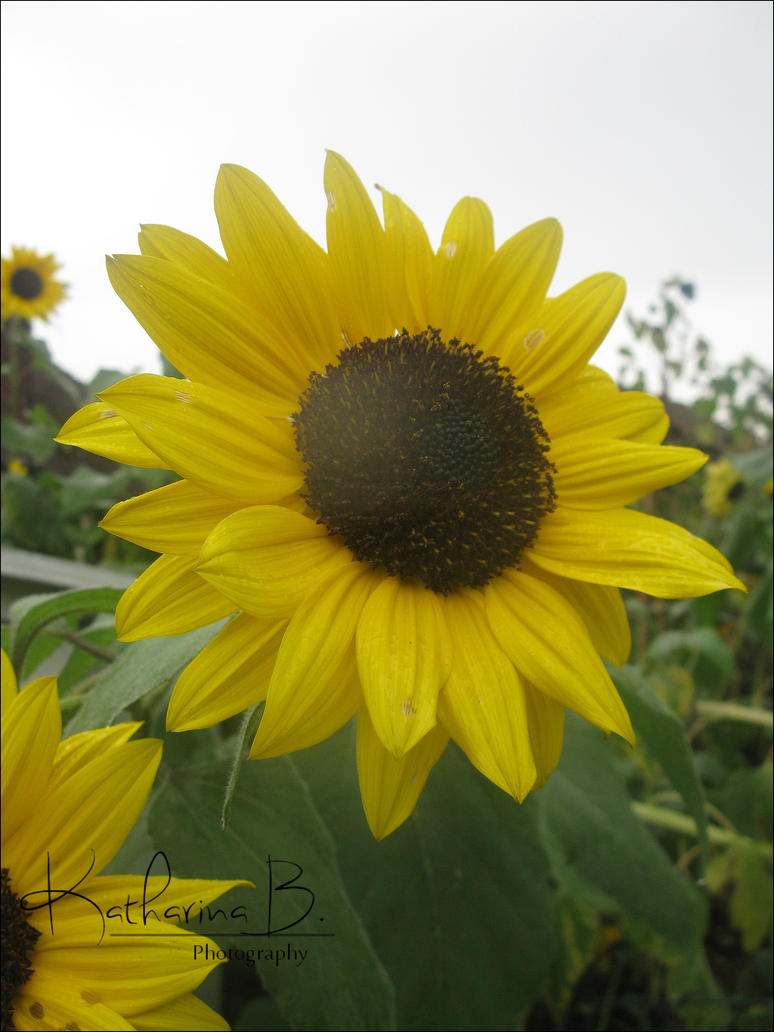 Sunflower by SunnyKatharina