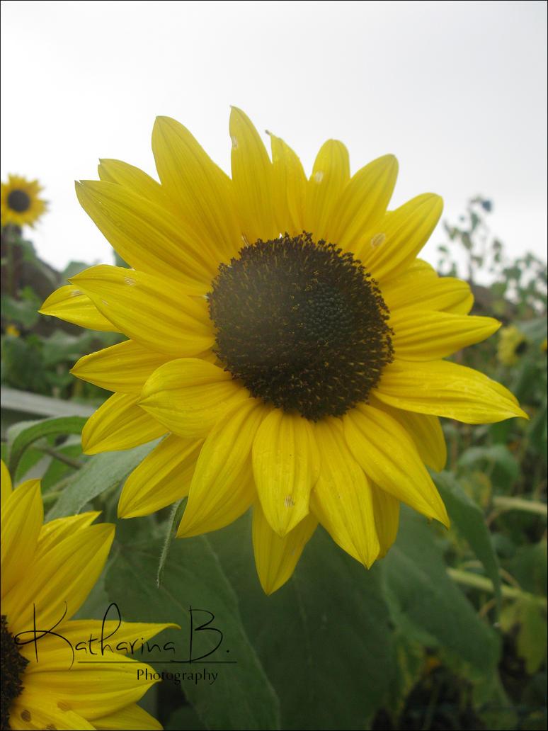 Sunflower by SunnyKatharina