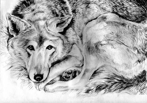 Sleepy Red Wolf