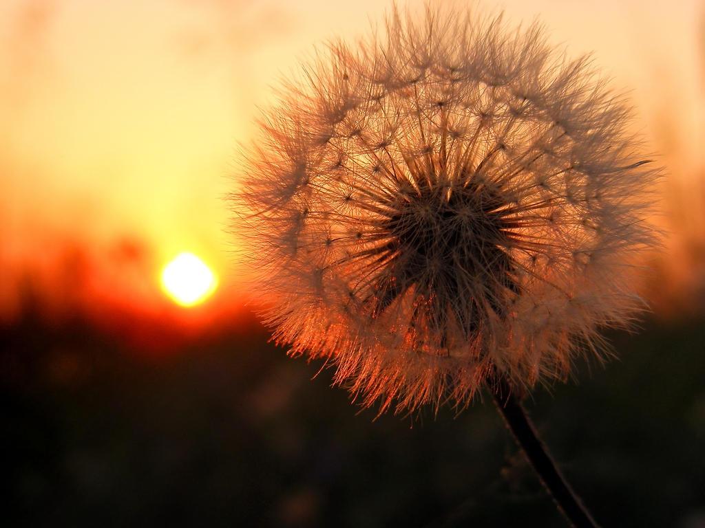 dandelion sunset related keywords - photo #3