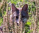 Wild flowers and gray fox by fanfictionaxis
