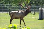 Majestic Elk 2 by fanfictionaxis