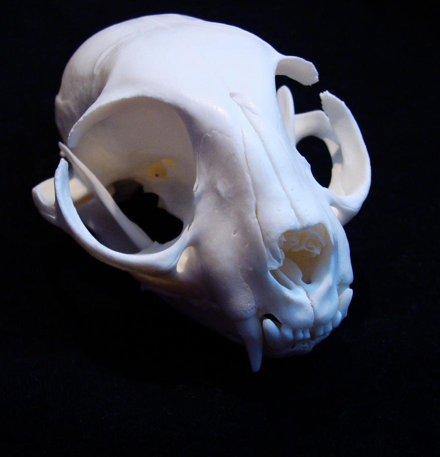 Kot domowy(Felis catus) Czaszka ~~ Skull by SkullTormentor