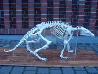 Mrownik(Orycteropus afer) Szkielet ~~ skeleton.