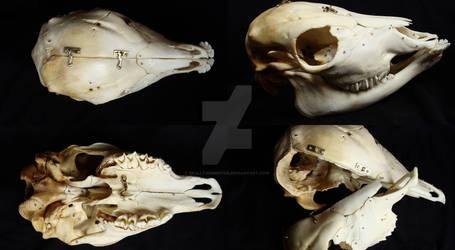 Cielak (Bos taurus) czaszka ~~ Skull