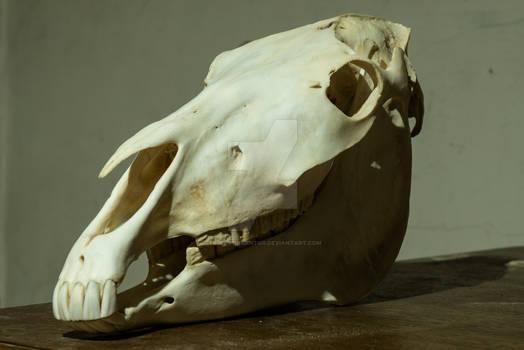 Kon (Equus caballus) Czaszka ~~ Skull