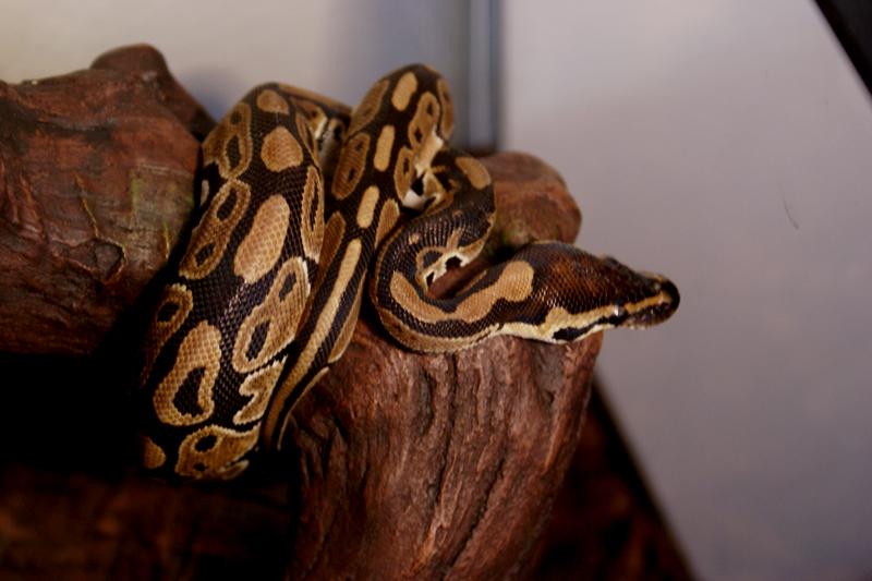 Resultado de imagen de python regius