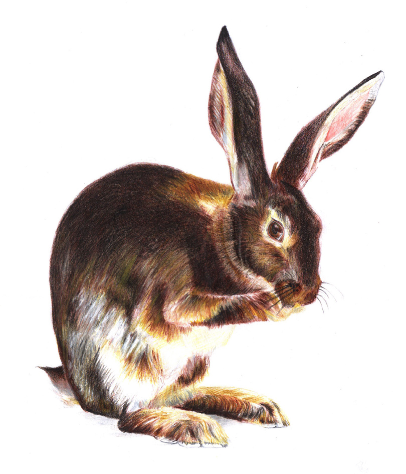 Rabbit Colored Pencils Study by PauloDuqueFrade on DeviantArt