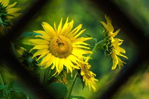 Sunflower by xTernal7
