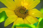 Bee, sunflower.