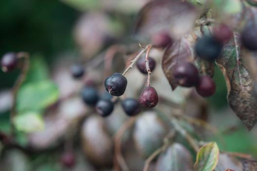 Cotoneaster lucidus 2