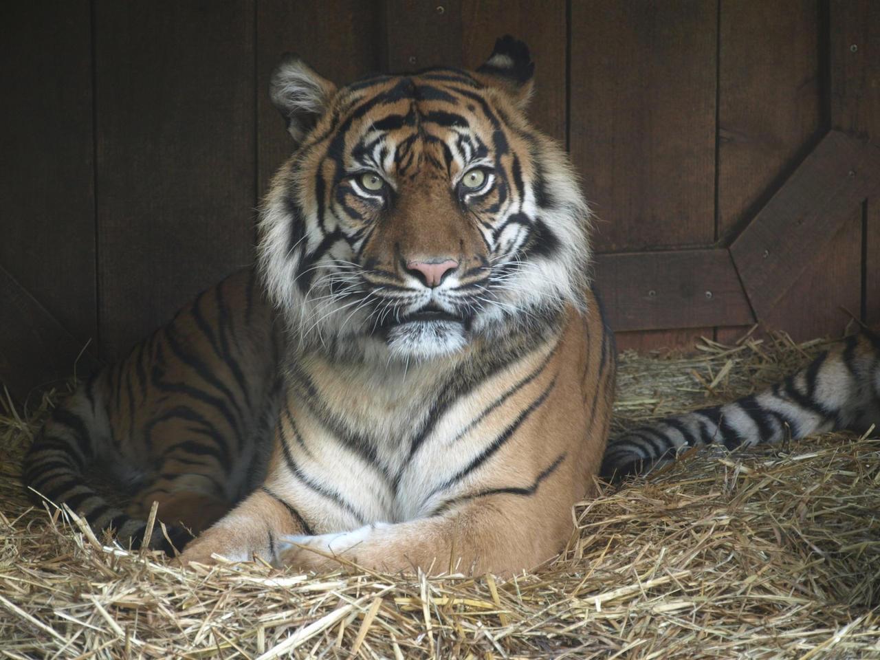 Tiger by Johanne131