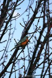 Red Robin by masonfetzer