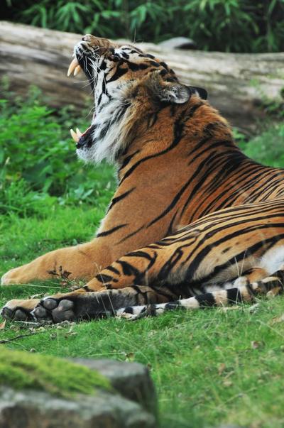 Tiger by digitaldreamz666